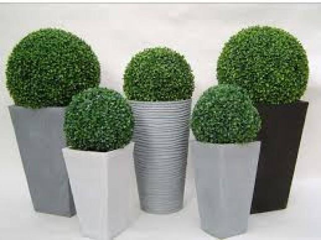 Buchinha Arbusto para Jardins