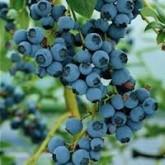 Muda de Mirtilo Cranberry Blueberry