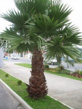 Palmeira Washingtonia 4 metros