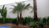 Palmeira Fênix - Phoenix roebelinii 1,80 M