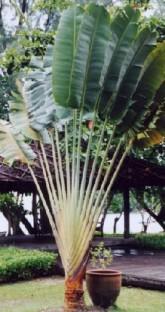 Ravenala Madagascariensies