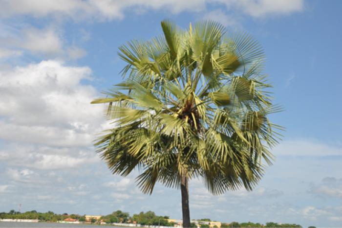 image Palmeira e sao paulo