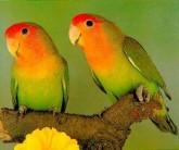 Agapornis Agapone Pássaro