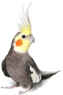 lindas-calopsitas-machos-femeas-e-filhotes