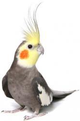 Lindas Calopsitas, machos, fêmeas e filhotes