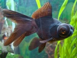 Peixes (kinguios, betas, lebiste, carpa entre outros)